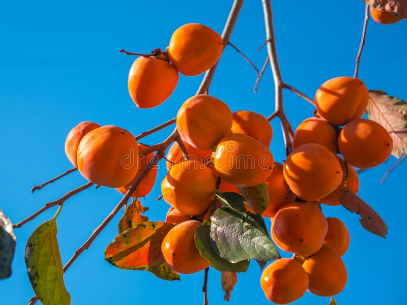 Persimmon tree with ripe orange fruits agenst blue sky, autumn t. Ime royalty free stock photos
