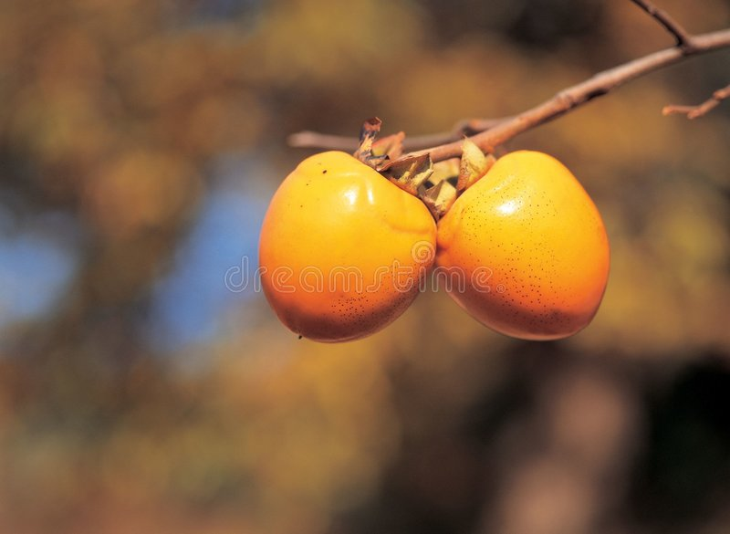 Persimmons with Branch stock image