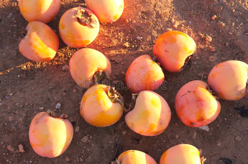 Persimmons on the ground after a January frost. A lot of persimmons spoiled after a heavy frost at the end of January royalty free stock image