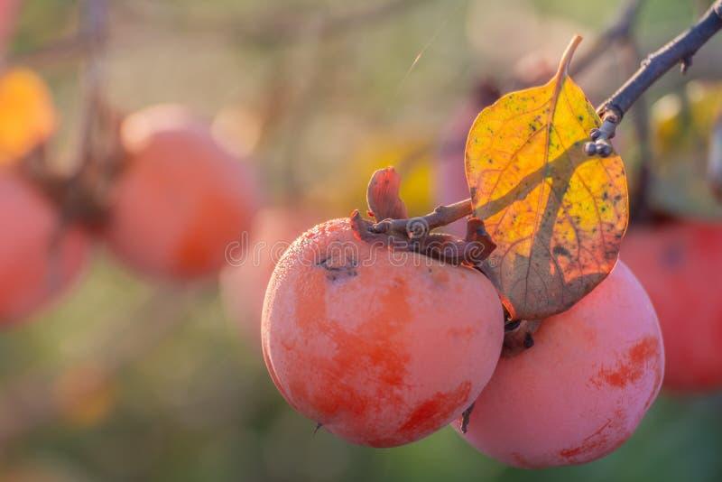 Persimmons na drzewie w jesieni zdjęcia royalty free