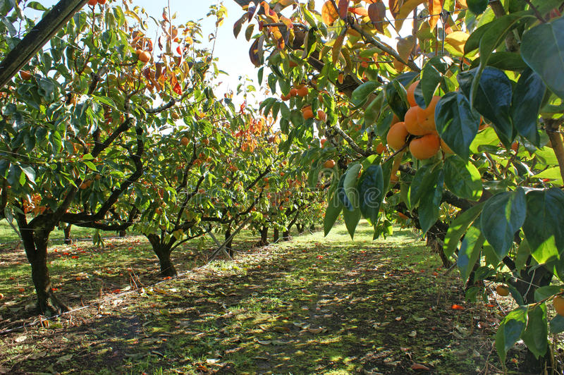 Persimmons in persimmon orchard on sunny day. Persimmons growing in a persimmon orchard, on a sunny day. Photographed in Kerikeri, Bay of Islands, Northland, New royalty free stock photography