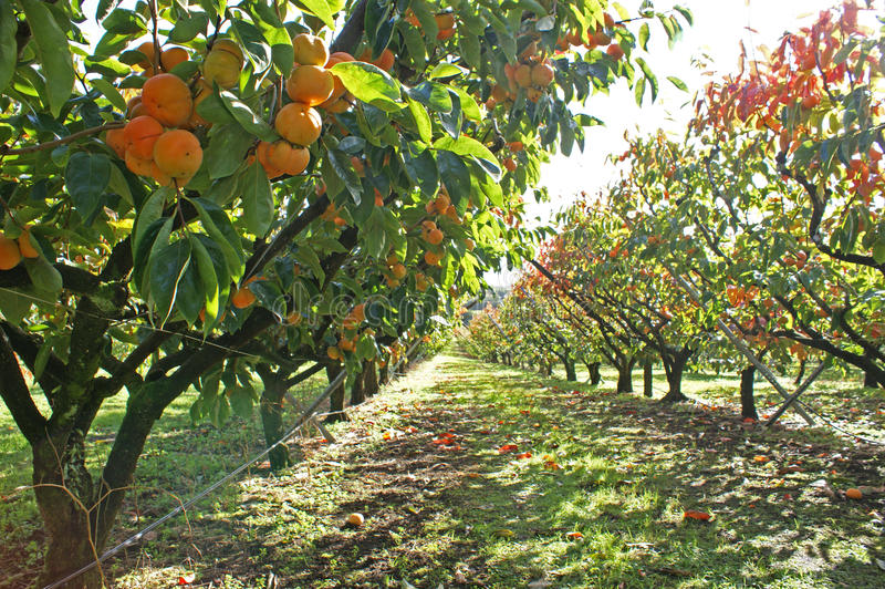 Persimmons in persimmon orchard on sunny day. Persimmons growing in a persimmon orchard, on a sunny day. Photographed in Kerikeri, Bay of Islands, Northland, New stock image