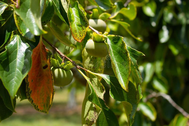 Persimmons on tree in South Florida, USA. Persimmon fruit ripening on diospyros tree in sunny South Florida, USA stock photography