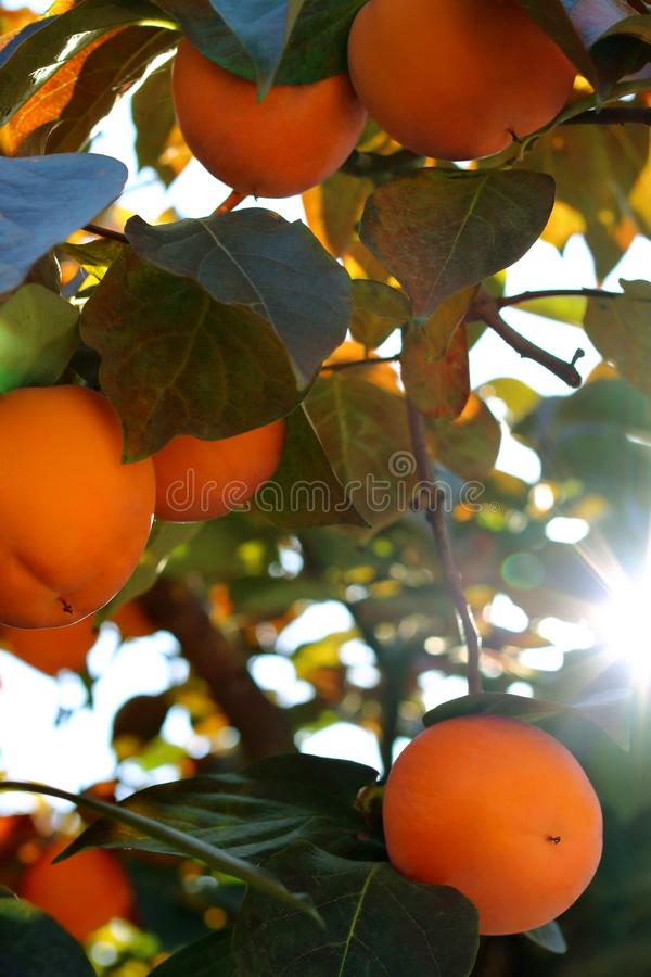 Persimonebaum mit reifen orange Früchten im Herbstgarten lizenzfreie stockbilder