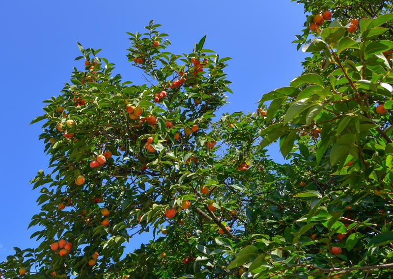 Persimonefrüchte auf dem Baum am Herbst stockfotos