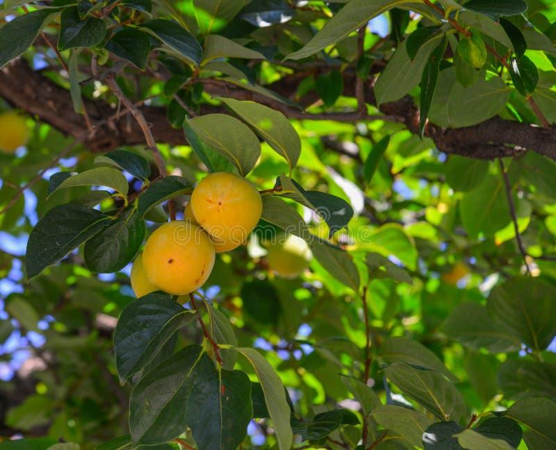 Persimonefrüchte auf dem Baum am Herbst lizenzfreie stockbilder