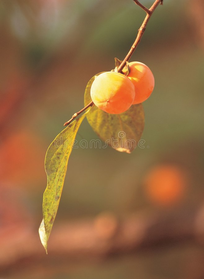 Persimonen mit Blättern stockbild
