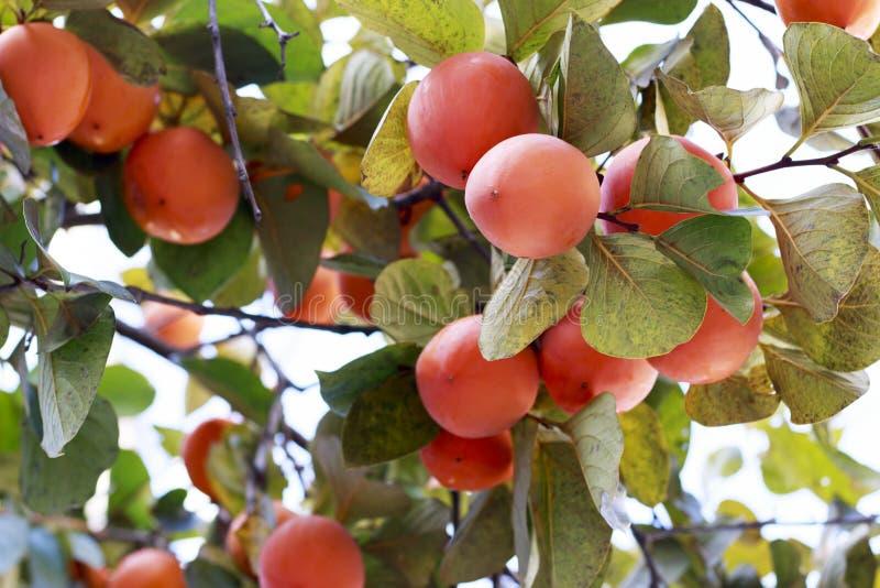 Persimonfrukt på persimonträdet, slut upp, utomhus jordbruk- och plockningbegrepp royaltyfria bilder