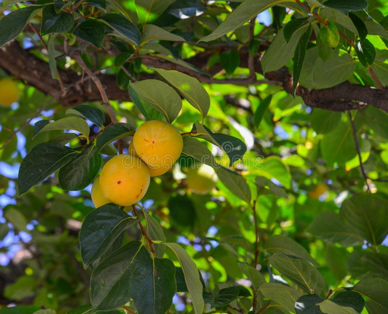 Persimonfrukter på trädet på hösten royaltyfria bilder