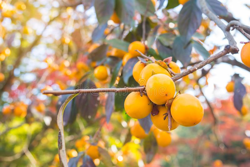 Persimonträd med många frukter royaltyfria foton