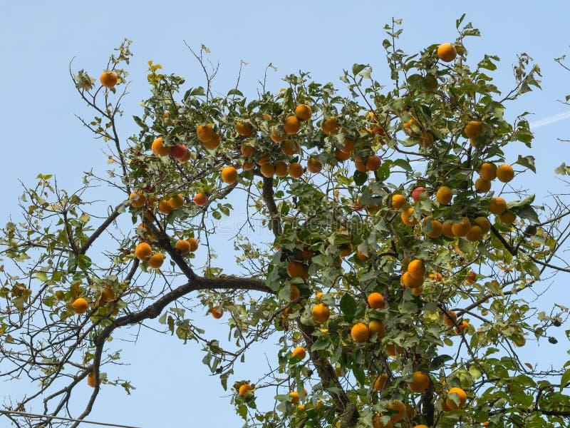 Persimonträd mycket av nästan mogna orange frukter royaltyfria bilder