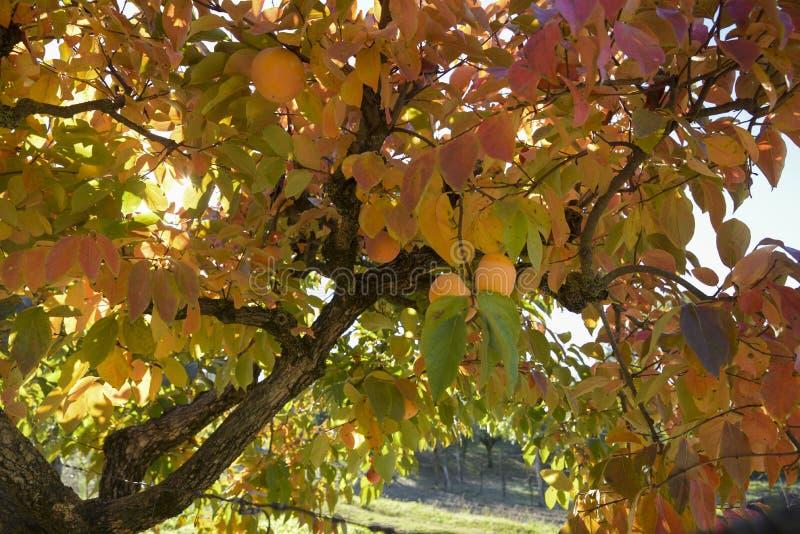 Persimonträdfilial med mogna frukter i höst royaltyfri bild