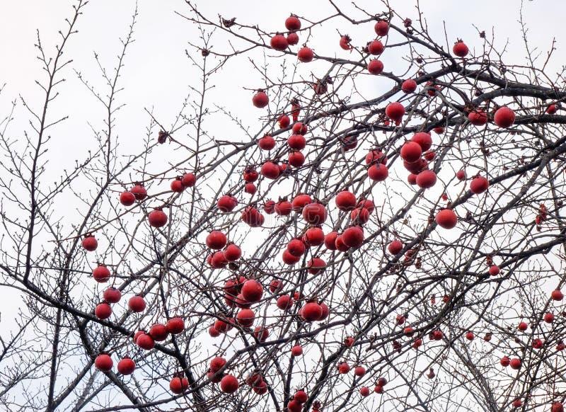 Persimontr?d med frukter p? h?sten royaltyfria foton