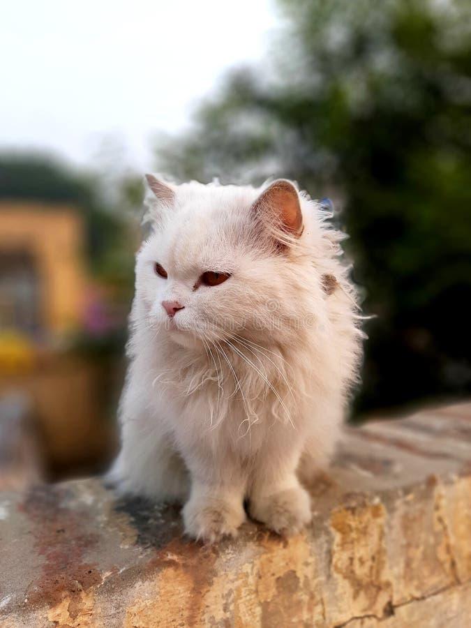 Persisch-Gelbe Augen Katze stockbild