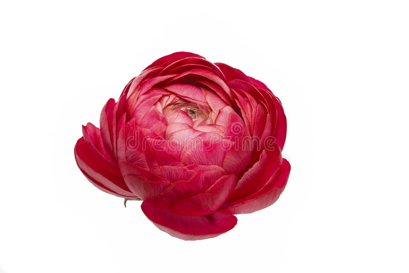 Persische Butterblume blüht (Ranunculus) Kopf lizenzfreie stockfotos