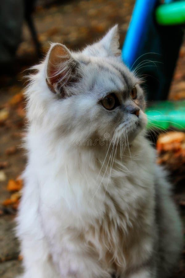 Persische flaumige Katze lizenzfreie stockbilder