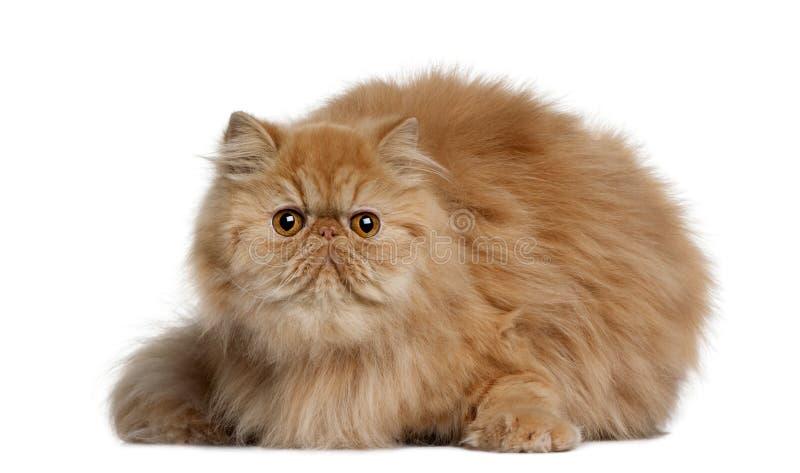 Persische Katze, 2 Jahre alt stockbilder