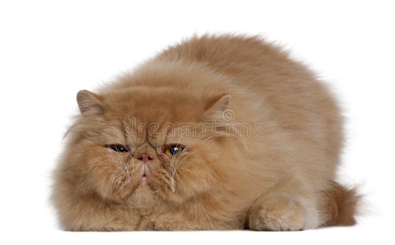 Persische Katze, 2 Jahre alt stockbild