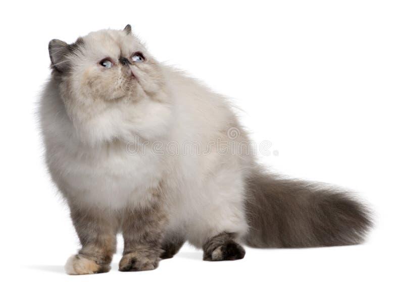 Persische Katze, 2 Jahre alt, oben schauend stockfoto