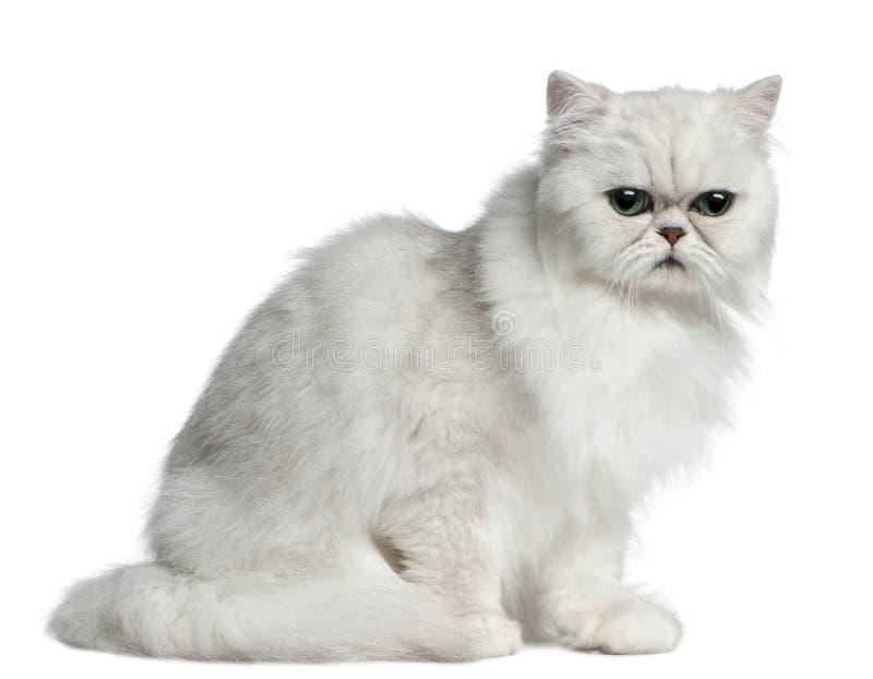 Persische Katze, 2 Jahre alt, sitzend lizenzfreies stockfoto
