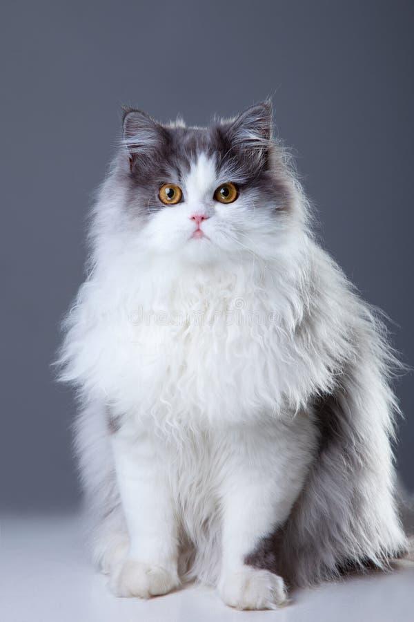 Persische Katze, die auf grauem Hintergrund sitzt lizenzfreies stockfoto