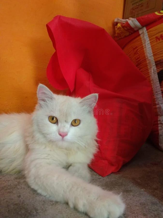 Persische Katze, die zur Kamera schaut lizenzfreie stockfotos