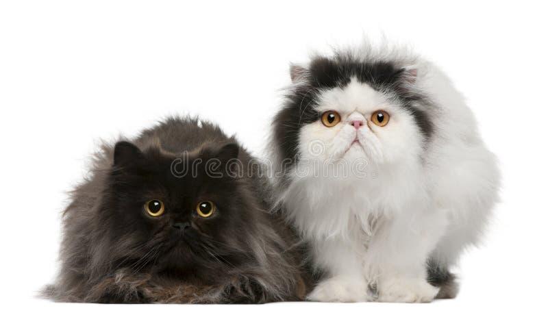 Persische Katzen, 2 Jahre alt stockbild
