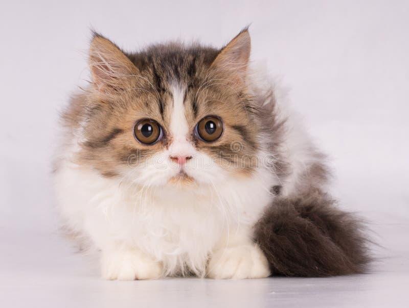 Persische schöne Katze, die mit Furcht der Kamera lokalisiert auf weißem Hintergrund betrachtet stockbilder