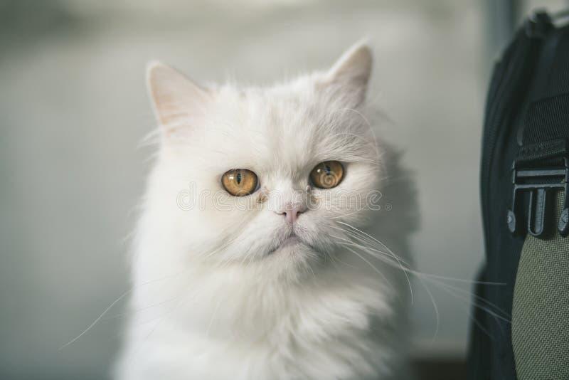 Persische weiße Katze stockfotografie