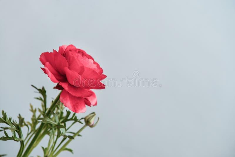 Persischer Butterblume Ranunculus stockbilder