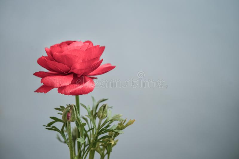 Persischer Butterblume Ranunculus stockbild