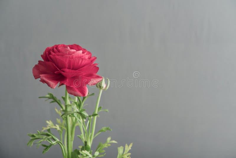 Persischer Butterblume Ranunculus stockfotos