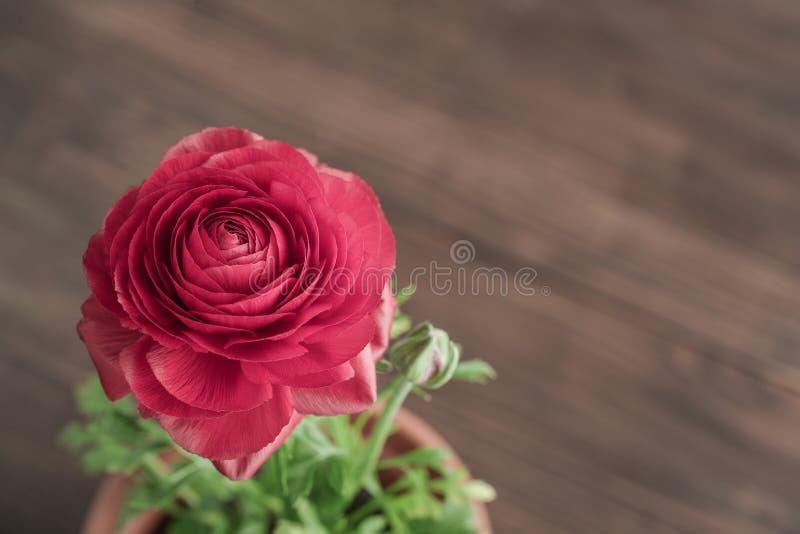 Persischer Butterblume Ranunculus lizenzfreies stockbild