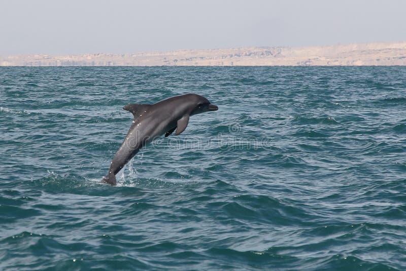Persischer Golfdelphin des Irans stockfotos