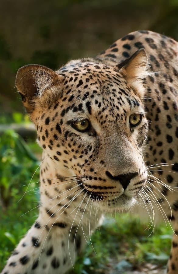 Persischer Leopard stockfotos