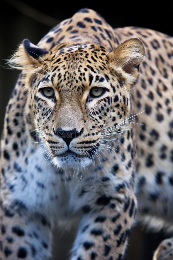 Persischer Leopard des Porträts, Panthera pardus saxicolor, das auf einer Niederlassung sitzt lizenzfreie stockfotos