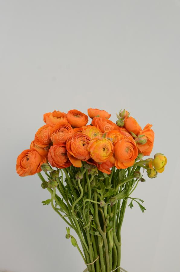 Persisk buttercup Blommar den bleka orange ranunculusen för gruppen ljus bakgrund royaltyfria bilder
