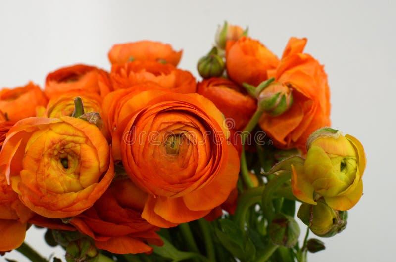 Persisk buttercup Blommar den bleka orange ranunculusen för gruppen ljus bakgrund royaltyfria foton