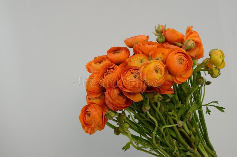 Persisk buttercup Blommar den bleka orange ranunculusen för gruppen ljus bakgrund fotografering för bildbyråer
