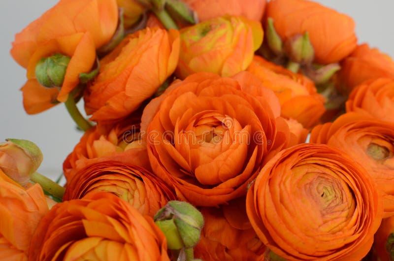 Persisk buttercup Blommar den bleka orange ranunculusen för gruppen ljus bakgrund royaltyfri foto