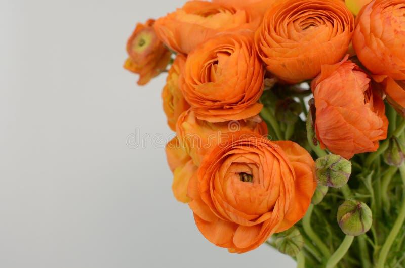Persisk buttercup Blommar den bleka orange ranunculusen för gruppen ljus bakgrund arkivbild