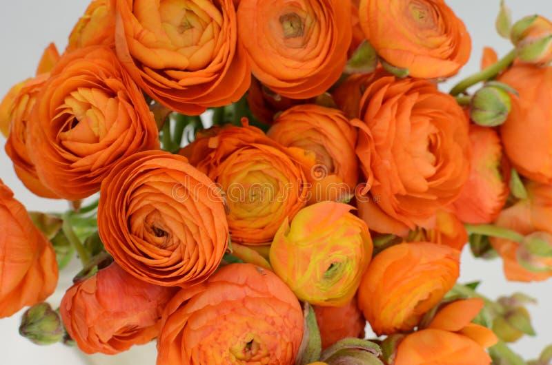 Persisk buttercup Blommar den bleka orange ranunculusen för gruppen ljus bakgrund royaltyfri bild