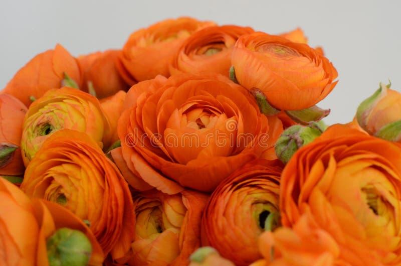 Persisk buttercup Blommar den bleka orange ranunculusen för gruppen ljus bakgrund royaltyfri fotografi