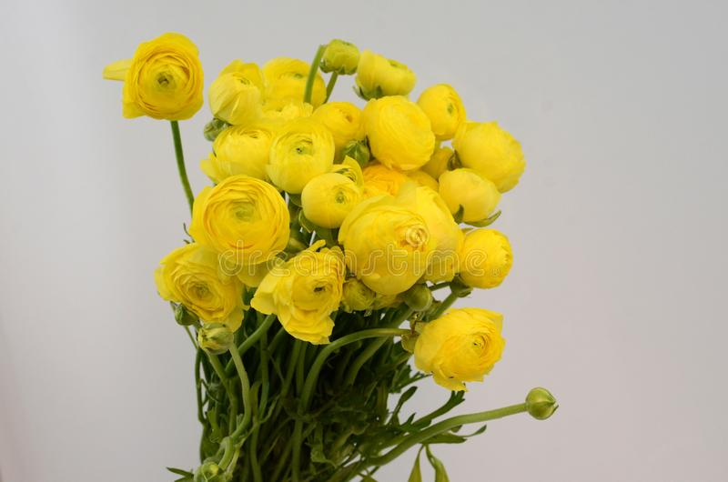 Persisk buttercup Gruppgräns - den gula ranunculusen blommar ljus bakgrund royaltyfri bild
