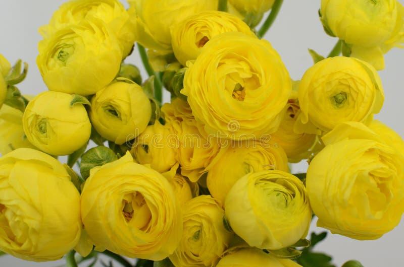 Persisk buttercup Gruppgräns - den gula ranunculusen blommar ljus bakgrund royaltyfri fotografi