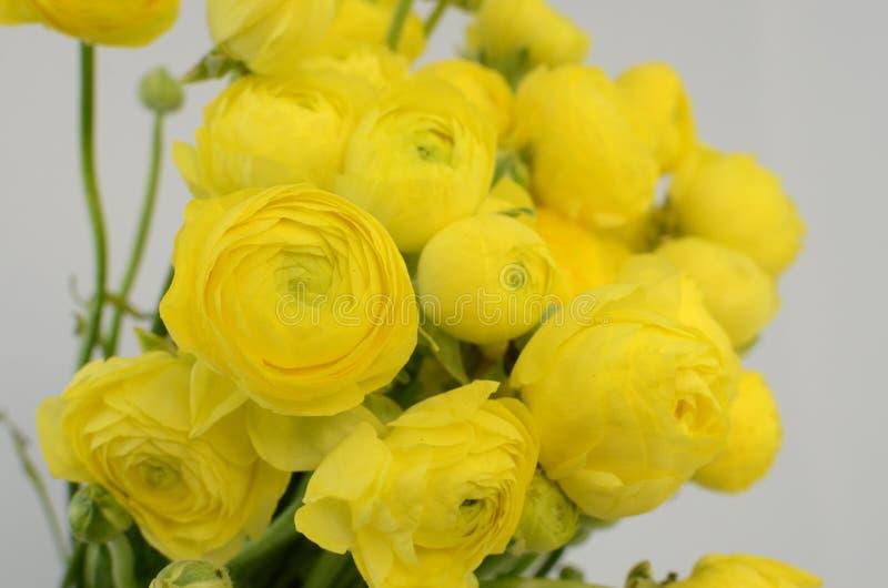 Persisk buttercup Gruppgräns - den gula ranunculusen blommar ljus bakgrund fotografering för bildbyråer