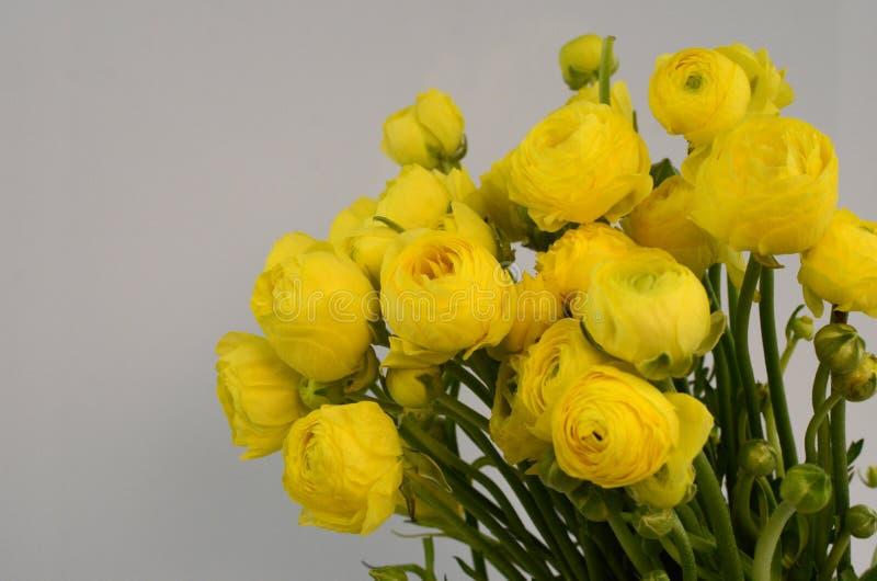 Persisk buttercup Gruppgräns - den gula ranunculusen blommar ljus bakgrund royaltyfria foton