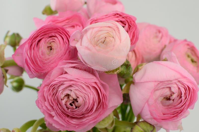 Persisk buttercup Gruppgräns - den rosa ranunculusen blommar ljus bakgrund arkivfoto