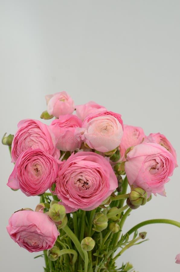 Persisk buttercup Gruppgräns - den rosa ranunculusen blommar ljus bakgrund arkivbilder