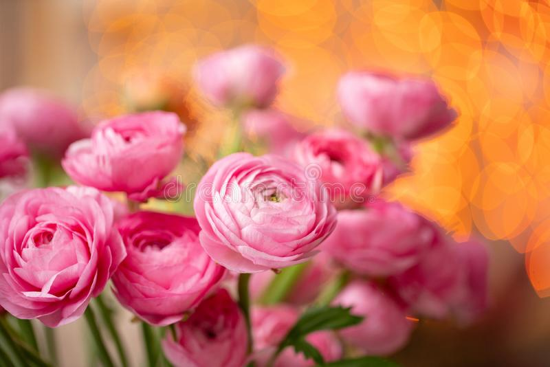 Persisk buttercup Karmosinröda rosa ranunculusblommor för grupp i exponeringsglasvas Girlandbokeh på bakgrund wallpaper royaltyfria bilder